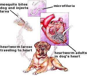 Heartworm Disease And Prevention Chastain Veterinary Medical Group